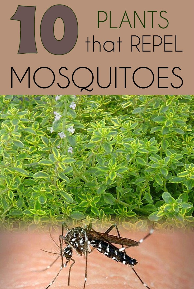 10 Plants That Repel Mosquitoes Gardaholic Net