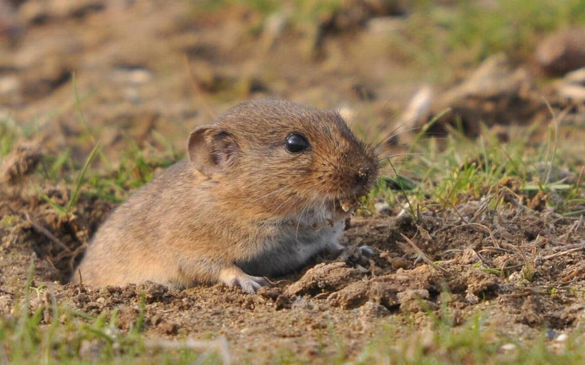 How To Get Rid Of Voles In Your Yard And Garden Without