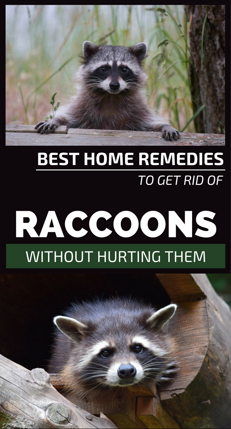 Natural Ways To Get Rid Of Raccoons