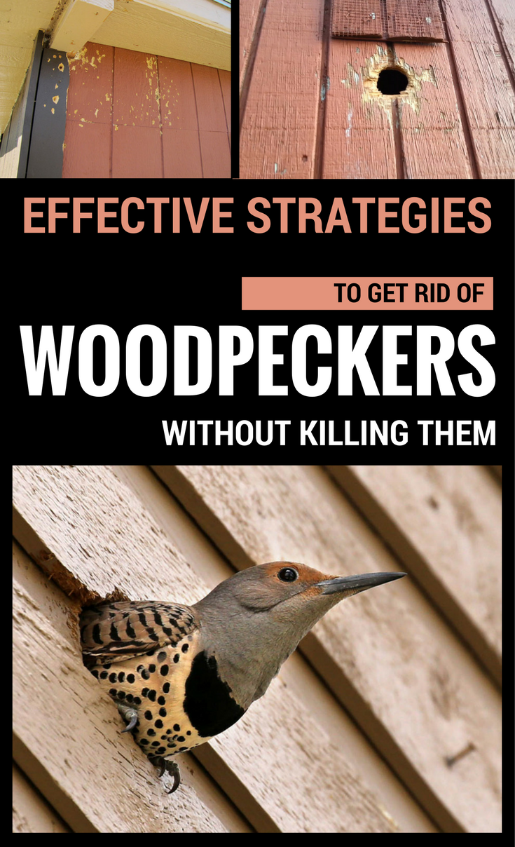 Effective Strategies To Get Rid Of Woodpeckers Without