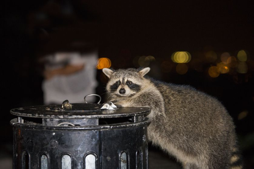 Best Home Remedies To Get Rid Of Raccoons Without Hurting ...