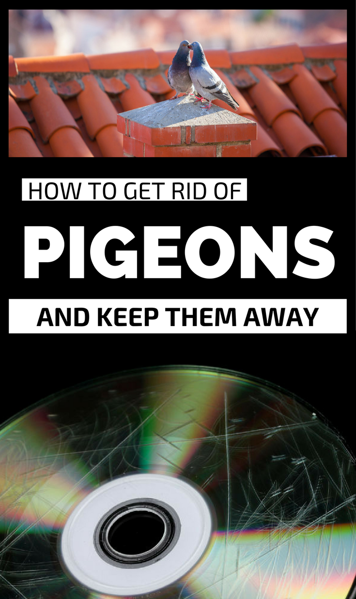 How To Get Rid Of Pigeons And Keep Them Away Gardaholic Net