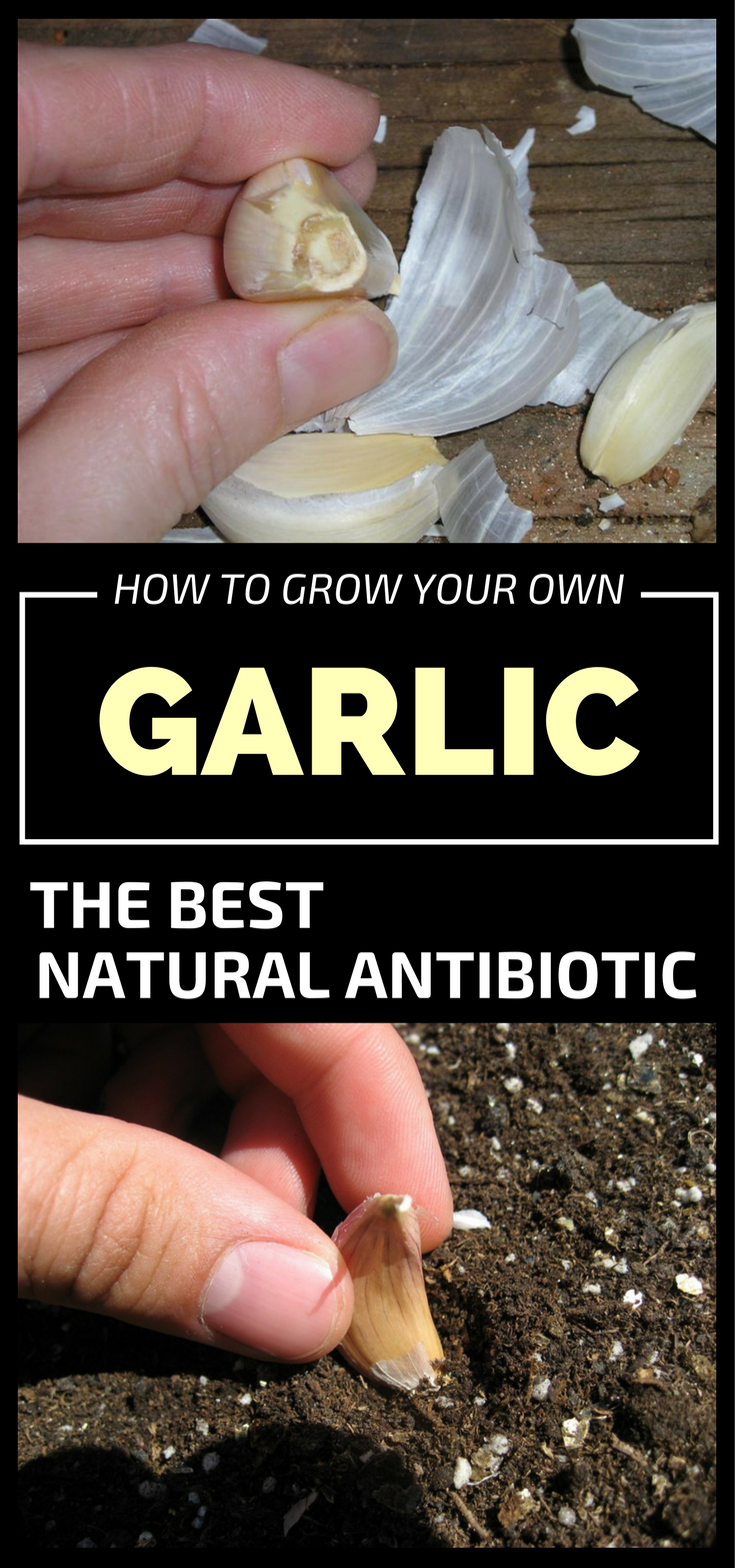 how to use garlic as a natural antibiotic