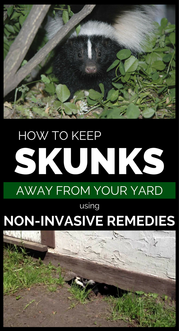How To Keep Bad Luck Into Distance With These Two Plants: How To Keep Skunks Away From Your Property Using Non