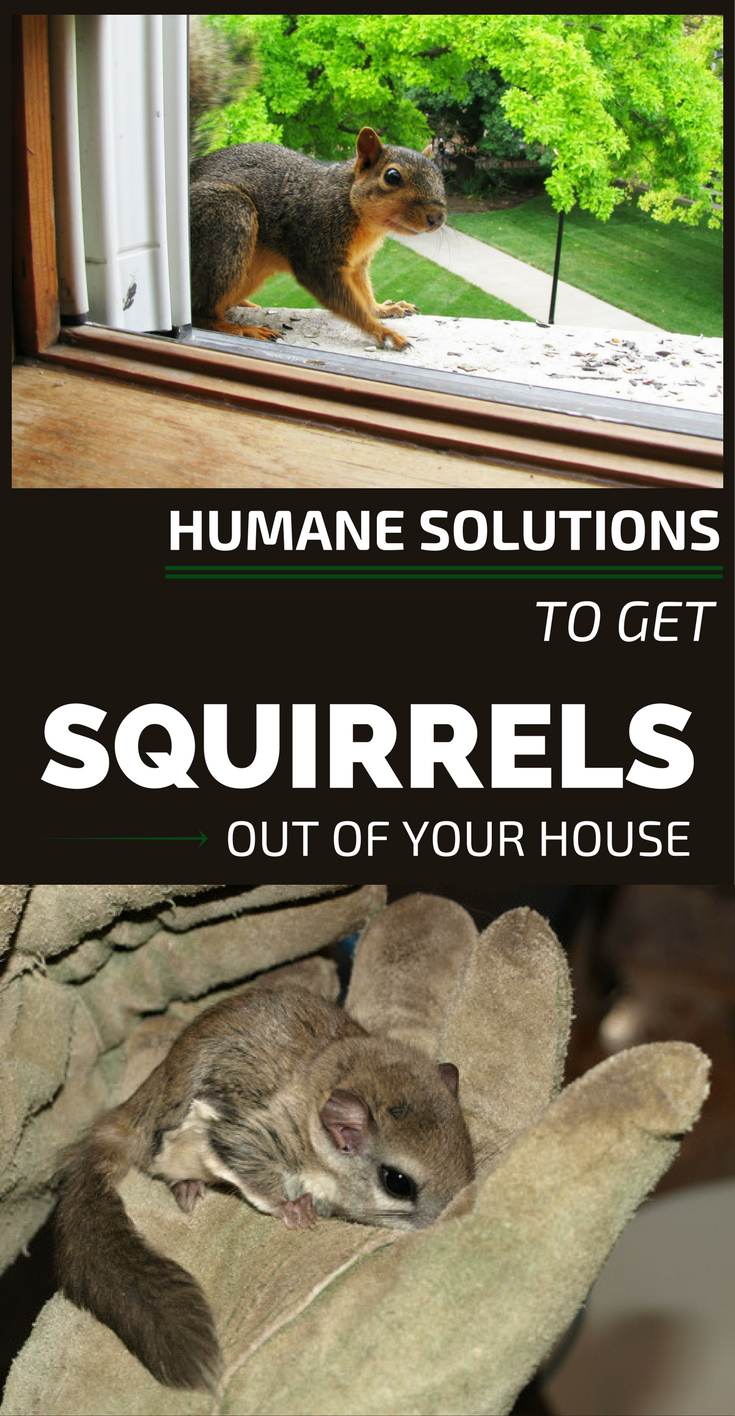 Humane Solutions To Get Squirrels Out Of Your House
