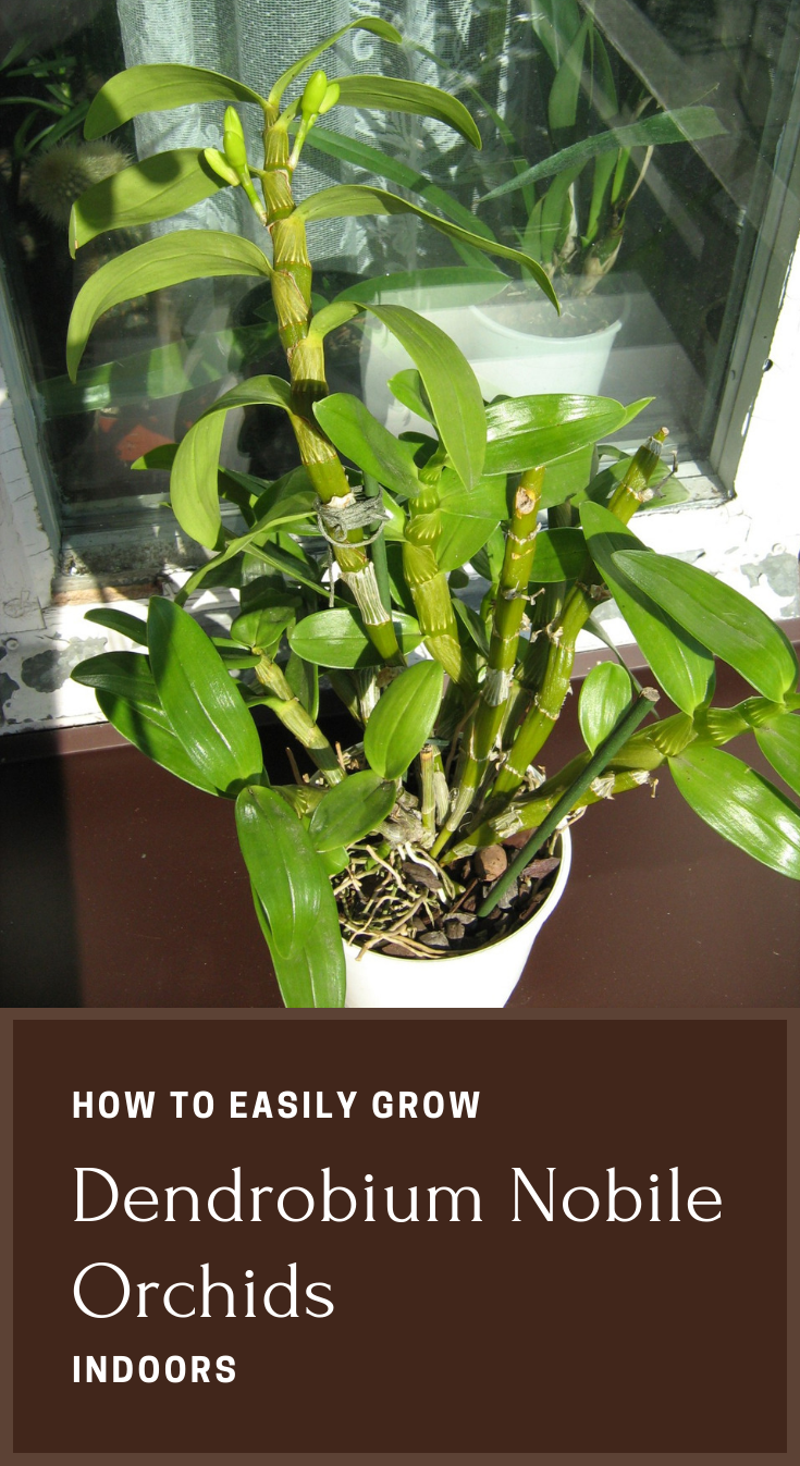 How To Easily Grow Dendrobium Nobile Orchids Indoors