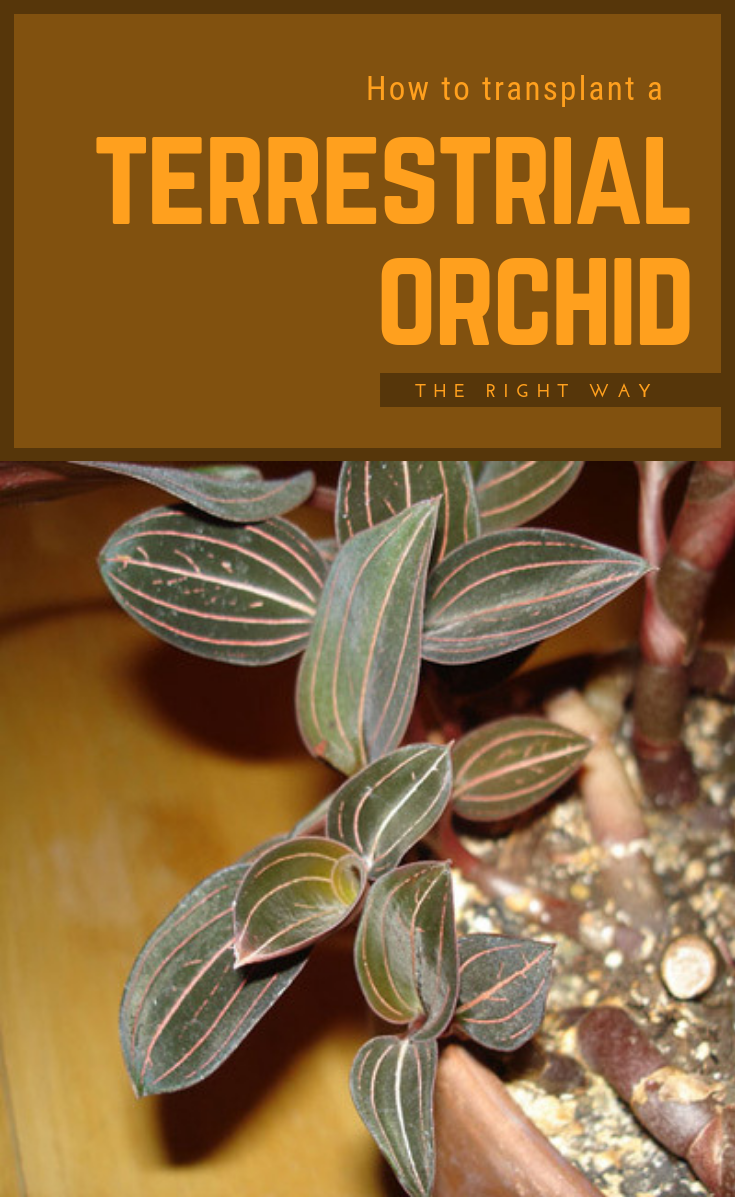 how to transplant a terrestrial orchid the right way. Black Bedroom Furniture Sets. Home Design Ideas
